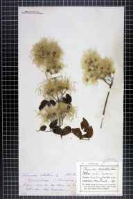 Clematis vitalba herbarium specimen from Eastbourne, VC14 East Sussex in 1875 by Miss  Russell.