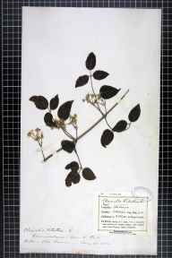 Clematis vitalba herbarium specimen from Salisbury,Old Sarum, VC8 South Wiltshire in 1882 by Mr Frederick Thompson Mott.