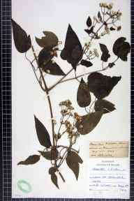 Clematis vitalba herbarium specimen from Leeds, VC63,VC64 in 1906 by H R Craven.