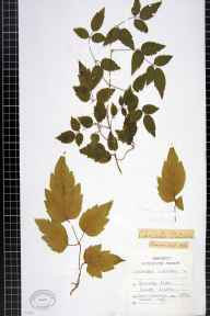 Clematis vitalba herbarium specimen from Stanmer Park, VC14 East Sussex in 1894.