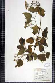 Clematis vitalba herbarium specimen from Muggington, VC57 Derbyshire in 1890 by Rev William Hunt Painter.