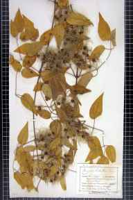Clematis vitalba herbarium specimen from Ripple, VC33 East Gloucestershire in 1899 by Mr Charles Bailey.
