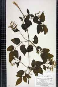 Clematis vitalba herbarium specimen from Ludford, VC36 Herefordshire in 1892 by Mr Charles Bailey.