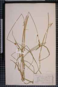 Carex otrubae x remota = C. x pseudoaxillaris herbarium specimen from Bathampton, VC6 North Somerset in 1856 by Dr Thomas Bruges Flower.