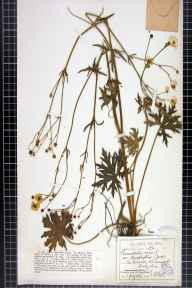 Ranunculus acris herbarium specimen from Wirksworth Quarries, VC57 Derbyshire in 1906 by Mr William Bell.