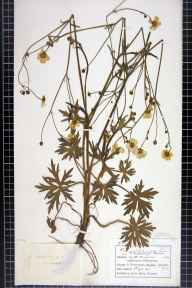 Ranunculus acris herbarium specimen from Abergavenny, VC35 Monmouthshire in 1897 by Mr Charles Bailey.
