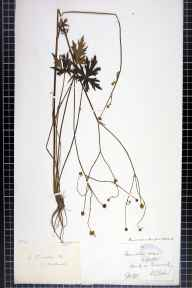 Ranunculus acris herbarium specimen from Honiley, VC38 Warwickshire in 1878 by Dr Robert Large Baker.
