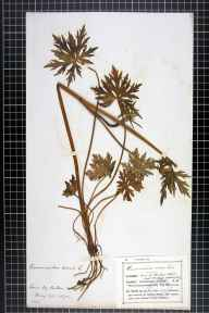 Ranunculus acris herbarium specimen from Buddon Wood, VC55 Leicestershire in 1872 by Mr Frederick Thompson Mott.