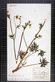 Ranunculus acris herbarium specimen from Oadby, VC55 Leicestershire in 1874 by Mr Frederick Thompson Mott.