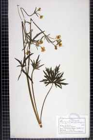 Ranunculus acris herbarium specimen from Ashover, neighbourhood of, VC57 Derbyshire in 1882 by Mr Charles Bailey.