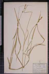 Carex otrubae x remota = C. x pseudoaxillaris herbarium specimen from West Worcester, VC37 Worcestershire in 1852 by George Maw.