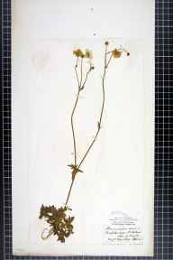 Ranunculus acris herbarium specimen from Saint Helens, VC10 Isle of Wight in 1869 by Mr James Ward.