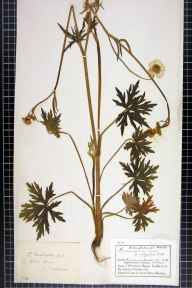 Ranunculus acris herbarium specimen from Milltown, VC57 Derbyshire in 1882 by Mr Charles Bailey.