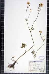 Ranunculus acris herbarium specimen from Boulton, VC57 Derbyshire in 1878 by Rev William Hunt Painter.