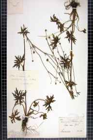 Ranunculus acris herbarium specimen from York, VC61,VC62,VC64 in 1891 by Mr George Webster.