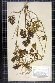 Ranunculus repens herbarium specimen from Mobberley, VC58 Cheshire in 1882 by Mr Charles Bailey.
