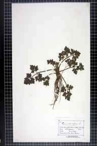 Ranunculus repens herbarium specimen from Tatton Park, VC58 Cheshire in 1884 by Mr Charles Bailey.