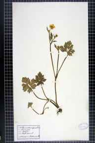 Ranunculus repens herbarium specimen from Northwich, VC58 Cheshire in 1916 by Dr W Horton-Smith.