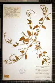 Atriplex prostrata x longipes = A. x gustafssoniana herbarium specimen from Gibraltar Point, VC54 North Lincolnshire in 1975 by Pierre M Taschereau.