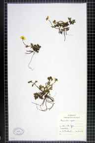 Ranunculus repens herbarium specimen from Teesdale, VC65,VC66 in 1968 by H Marchant.