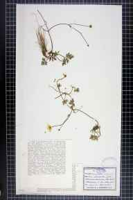 Ranunculus repens herbarium specimen from Dalwhinnie, VC96 East Inverness-shire in 1911 by Dr William Andrew Shoolbred.