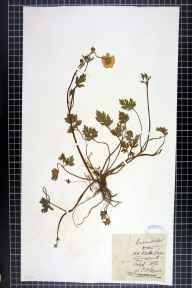 Ranunculus repens herbarium specimen from Old Weston, VC31 Huntingdonshire in 1872 by Thomas Peter Fernie.