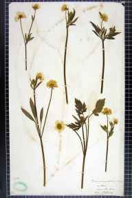 Ranunculus repens herbarium specimen from Otley, Ambiguous locality (GB) in 1906 by H L Craven.