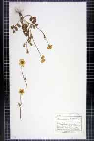 Ranunculus bulbosus herbarium specimen from Mobberley, VC58 Cheshire in 1882 by Mr Charles Bailey.