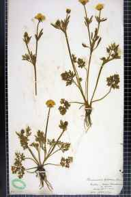 Ranunculus bulbosus herbarium specimen from Adel, VC64 Mid-west Yorkshire in 1906 by H L Craven.