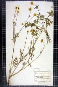 Ranunculus bulbosus herbarium specimen from Haymesgarth, VC33 East Gloucestershire in 1910 by Mr Charles Bailey.