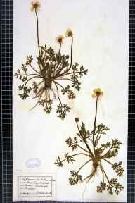 Ranunculus bulbosus herbarium specimen from Edinburgh, VC83 Midlothian in 1877 by Dr W Horton-Smith.
