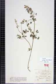 Fumaria purpurea herbarium specimen from Galashiels, VC79 Selkirkshire in 1874 by Mr Andrew Brotherston.