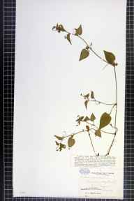 Viola canina x lactea herbarium specimen from Hedge Court Pond, VC17 Surrey in 1889 by Mr William Hadden Beeby.