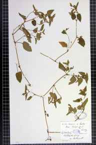 Viola canina x lactea herbarium specimen from Croydon, VC17 Surrey in 1889 by Mr William Hadden Beeby.