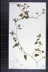 Viola canina x persicifolia = V. x ritschliana herbarium specimen from Thames Ditton, VC17 Surrey in 1898 by Mr William Hadden Beeby.