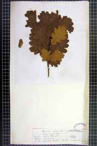 Quercus petraea x robur = Q. x rosacea herbarium specimen from Hyde, VC58 Cheshire in 1842 by Mr Leopold Hartley Grindon.