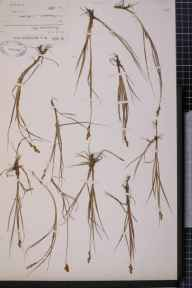 Carex lachenalii x curta = C. x helvola herbarium specimen from Lochnagar, VC92 South Aberdeenshire in 1906 by Dr William Andrew Shoolbred.