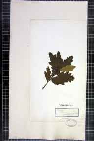 Quercus petraea x robur = Q. x rosacea herbarium specimen from Luddenden, VC63 South-west Yorkshire in 1842.