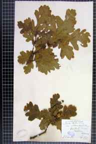 Quercus petraea x robur = Q. x rosacea herbarium specimen from Malvern, VC37 Worcestershire in 1887 by Mr Richard Francis Towndrow.