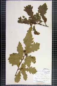 Quercus petraea x robur = Q. x rosacea herbarium specimen from Malvern Link, VC37 Worcestershire in 1907 by Mr Spencer Henry Bickham.