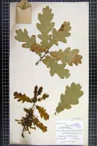 Quercus petraea x robur = Q. x rosacea herbarium specimen from Gamlingay, White Wood, VC29 Cambridgeshire in 1909 by Charles Edward Moss.