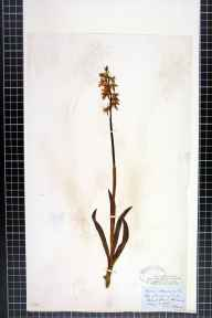 Orchis mascula herbarium specimen from Richmond, VC65 North-west Yorkshire in 1865 by Mr James Ward.