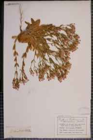 Centaurium erythraea x pulchellum herbarium specimen from Saint Anne's on the Sea, VC60 West Lancashire in 1907 by Mr Charles Bailey.