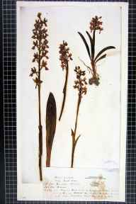 Orchis mascula herbarium specimen from Ipswich, VC25 East Suffolk in 1844 by Mr William Lowndes Notcutt.