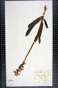 Orchis mascula herbarium specimen from Lea, VC60 West Lancashire in 1883 by F C King.