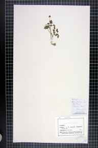 Adoxa moschatellina herbarium specimen from Claughton, VC60 West Lancashire in 1876 by Mr John Harbord Lewis.