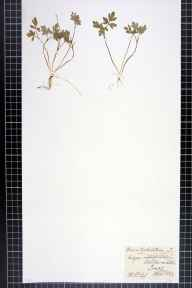 Adoxa moschatellina herbarium specimen from Ashton on Ribble, VC60 West Lancashire in 1882 by F C King.