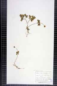 Adoxa moschatellina herbarium specimen from Hope, VC57 Derbyshire in 1900 by Mr Charles Bailey.