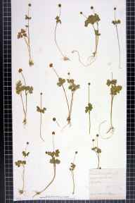 Adoxa moschatellina herbarium specimen from Aymestrey, VC36 Herefordshire in 1884 by Rose Fryer.