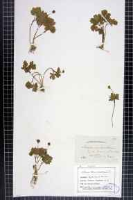 Adoxa moschatellina herbarium specimen from Neasdon, VC21 Middlesex in 1882 by Dr Eyre Champion de Crespigny.